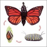 Folkmanis hand puppet monarch life cycle - metamorphose